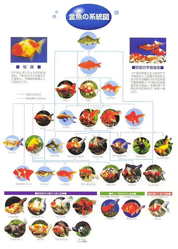 image of distribution diagram of goldfish